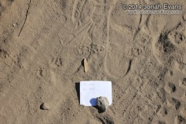 Striped Skunk Tracks