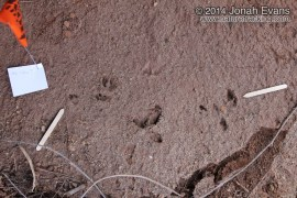 Cottontail Tracks