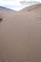 White-tailed jackrabbit Tracks