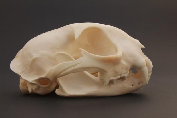 Animal Skulls Teaser