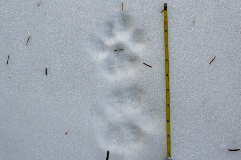 Mountain Lion Tracks in Snow