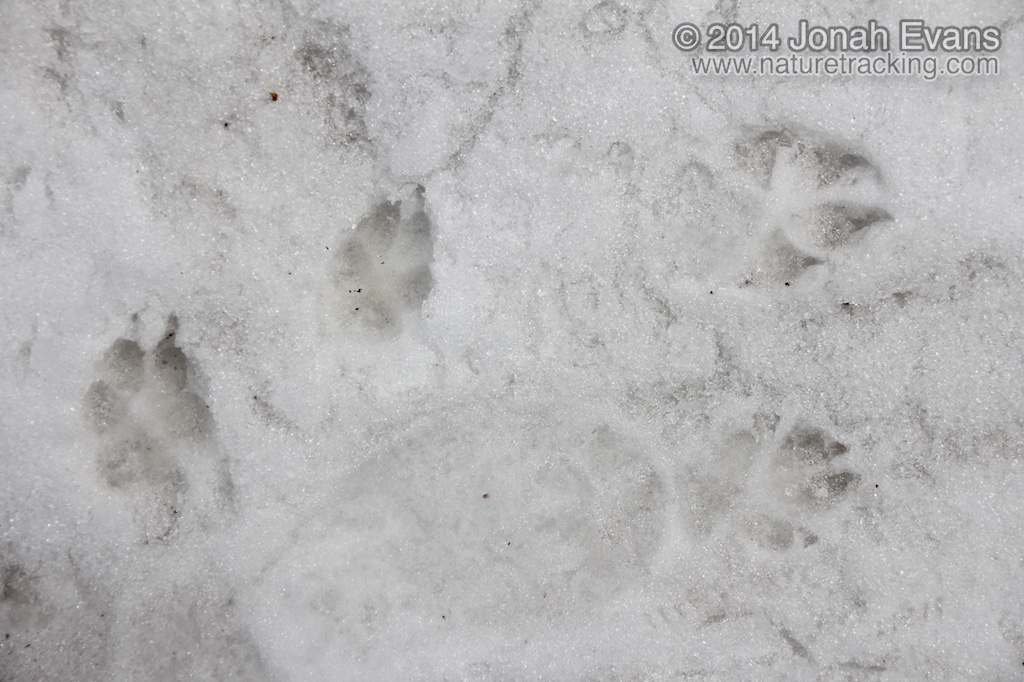 Identifying animal tracks in snow 5 common species in your coyote left and dog tracks publicscrutiny Choice Image