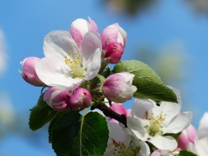 apple-blossom-116409_640