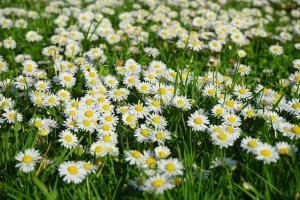 daisy-324403_640