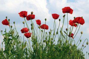 poppies-1439727_640