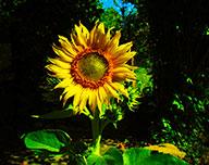 Majestät Sonnenblume