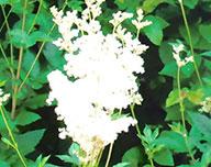 Mädesüßblüte