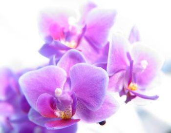 Orquideas para la limpiar la Casa -Phalaenopsis