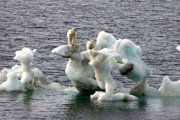 A photograph showing polar bears climbing on icicles in the frozen Arctic.