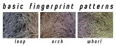 Three pictures displaying the basic fingerprint patterns: loop, arch, whorl.