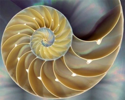 A close-up photograph of a cross section through a Nautilus shell showing that the Fibonacci sequence can be found everywhere in Nature.