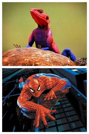 A photographic collage comparing a 'Superhero-coloured' blue and red gecko with Spiderman performing his climbing tricks.