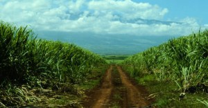 A photograph showing a sugar cane field.