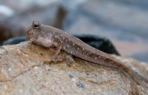 A photograph showing a mudskipper fish (Periophthalmus Cantonensis) from New Guinea.