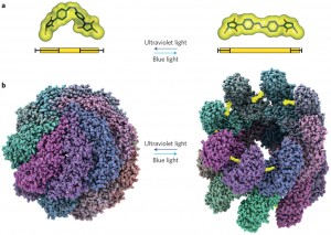Two computer models showing the nanocage of a protein machine in their closed and open states.