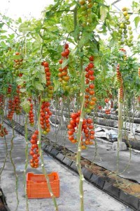 Tomatoes_under_Plastic_Greenhouse
