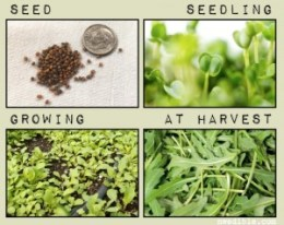 A collage of Eruca sativa photographs: Roquette salad from seeds to harvesting.