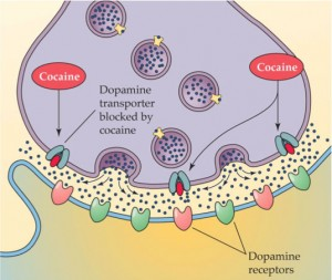 A diagram showing how Cocaine affects Dopamine transporters at synapses.