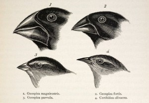 Darwins' original drawings of Galapagos Finches.