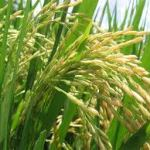 A photograph showing a rice plant with seeds.
