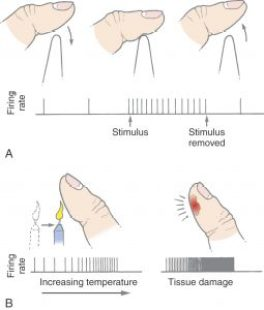 Several diagrams illustrating the reaction to pain caused to a finger, and the firing rate of the somatory system under different stimuli.