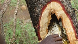 A photograph showing the human hunter harvesting the honey from a hollow tree branch.