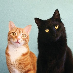 A photograph of celebrity cats Cole and Marmalade who took part in the musical experiment on YouTube.