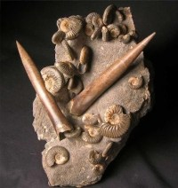 A sample of rock featuring fossils of Ludwigia obtusiformis and belemnites from Jurassic Skye.