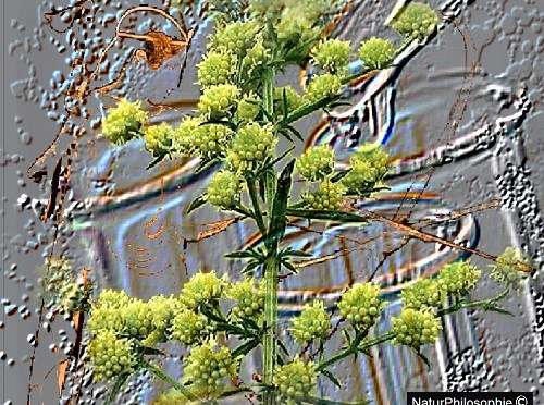 Artemisia and The Dirty Business of Malaria Pharmaceuticals