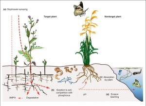 A diagram explaining the cycle of glyphosate in the environment: Target plants are sprayed with glyphosate, which then degrades or is partially absorbed in the soil.  Non-target plants can then absorb it or it leaches into the water table.