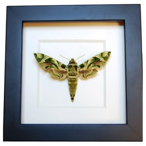 Frame-Oleander-Hawk-Moth