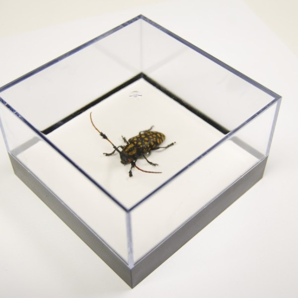 L box Aristobia aproximator longhorn beetle