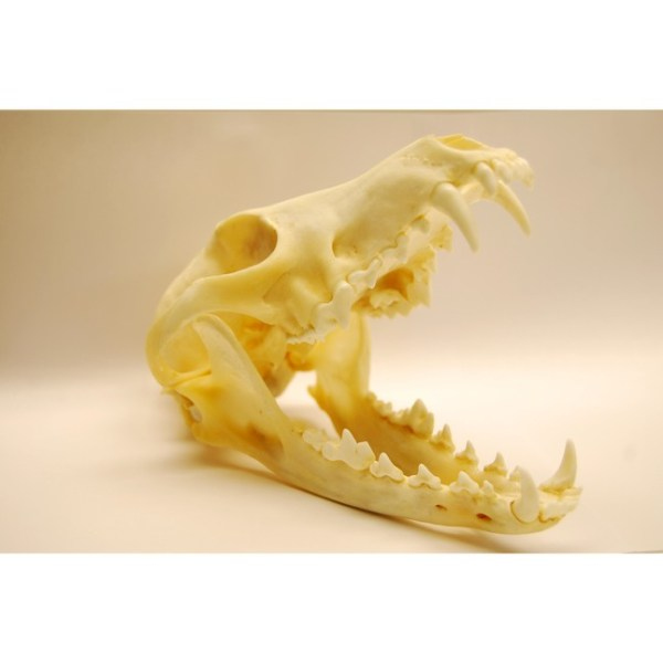 Skull Coyote skull