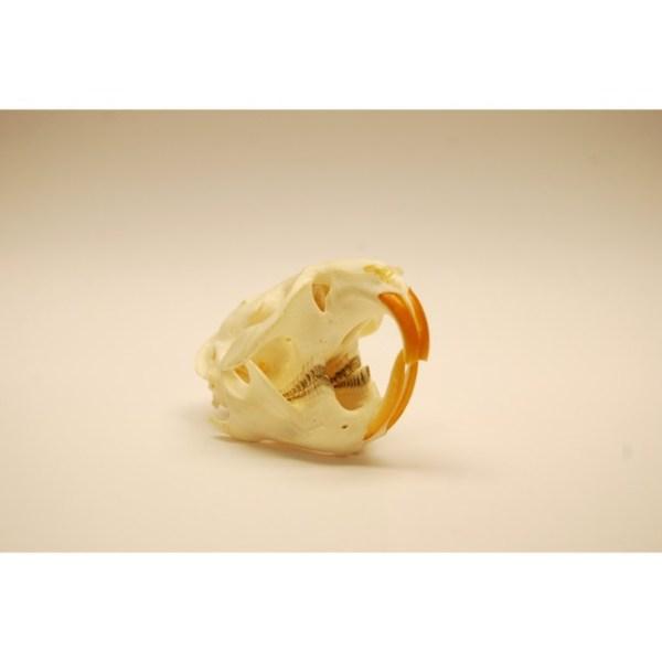 Skull Muskrat skull