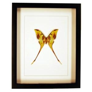 Frame-Actias-maenas-moth