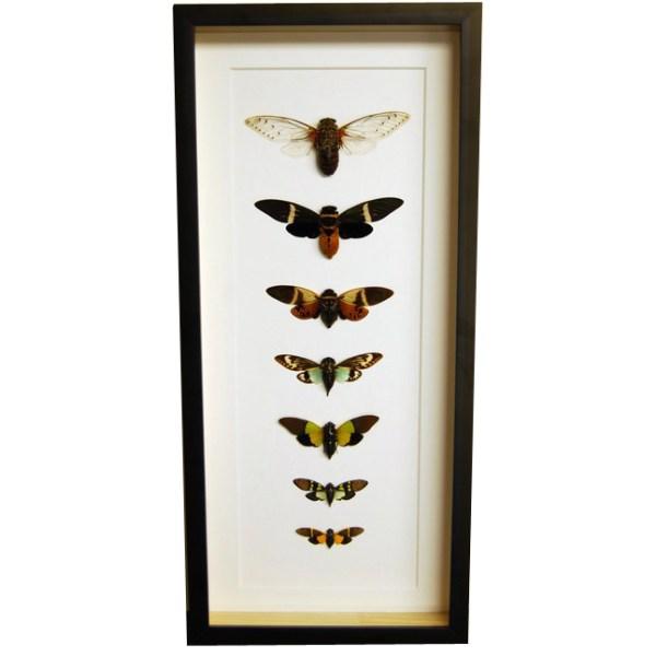 Frame-Cicada-Collection