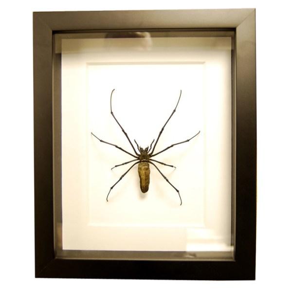 Frame-Nephila-Maculata