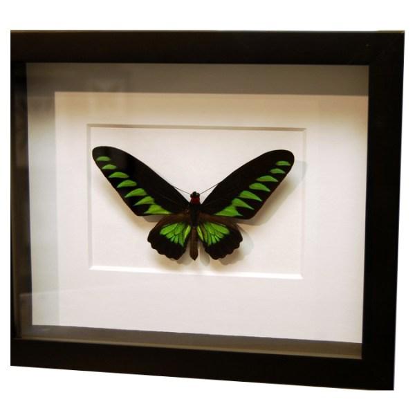Frame-Trogonoptera-Brookiana