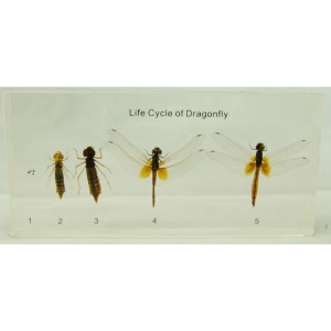 Life Cycle of the Dragonfly