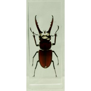 Mountain Stag Beetle