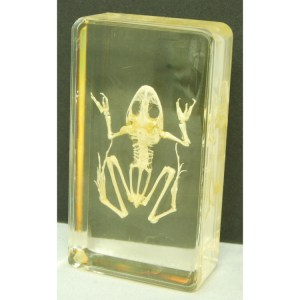Small frog skeleton
