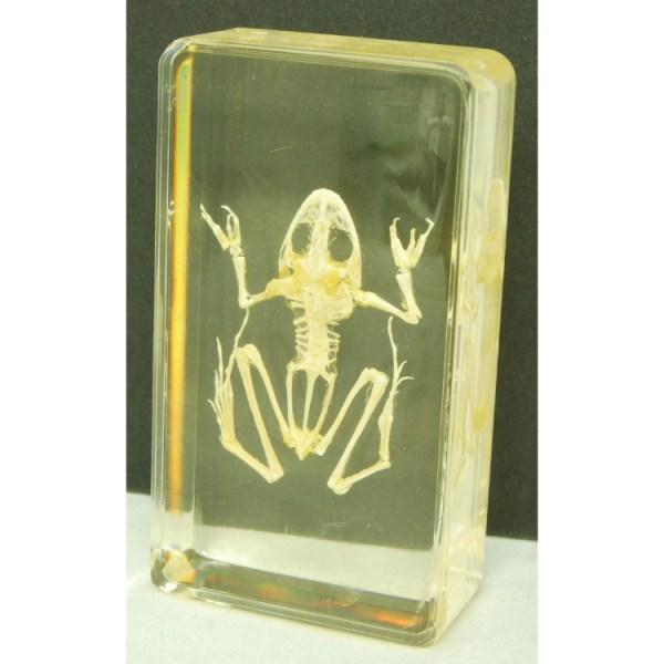 Small frog skeleton