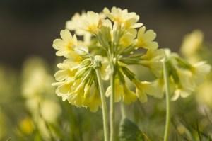 Schlüsselblume (Primula veris), close-up