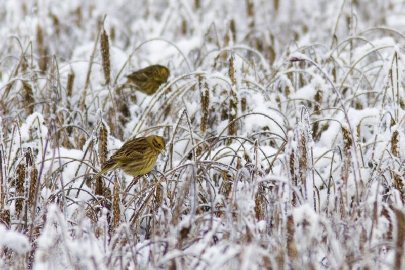 Yellowhammer on wintry field, photo by Saxifraga, Mark Zekhuis