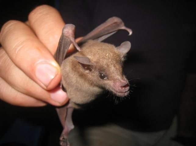 Curaçaoan long-nosed bat (picture: Jafet M. Nassar)