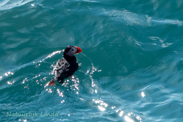 Spitsbergen papegaaiduiker natuurlijk Linda