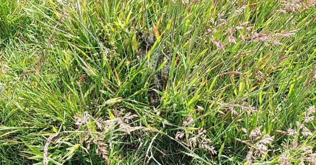 Kievitskuiken in camouflage