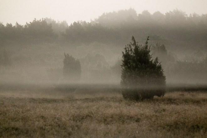 Jeneverbes in de mist