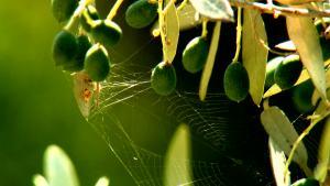 ragni olivo - Natyoure - www.natyoure.it