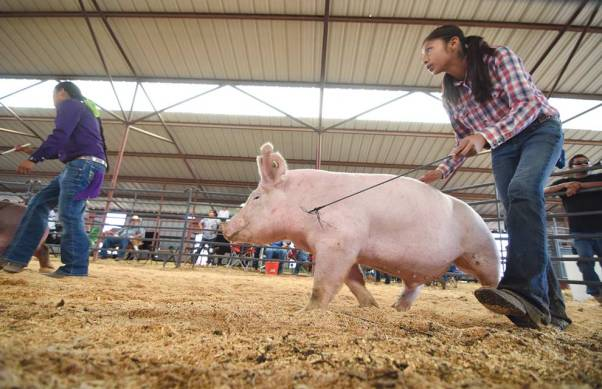 Navajo Times | Ravonelle Yazzie MaKayla Garcia, 14, of Bloomfield, N.M., makes eye contact with the judge as she shows her pig at the Ramah Navajo Fair and Rodeo 4-H show.